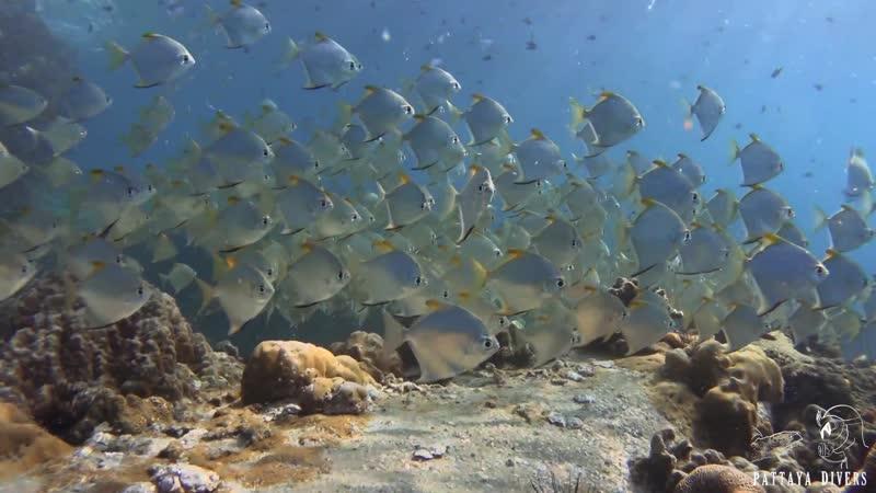 Diamondfish at Hin Luk Bat Rock Diving Koh Chang Thailand