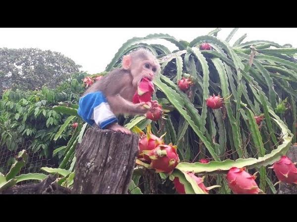 Baby Monkey / Doo And Family Eat Dragon Fruit - Funny Animals