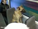 Эту собаку знают все пассажиры трамвайных маршрутов в Екатеринбурге.