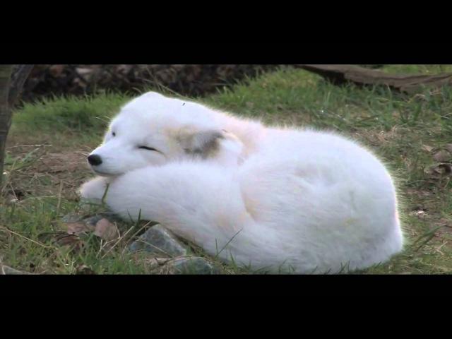 Три цікавинки щодня Арктична лисиця