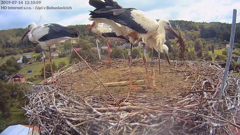 První lety mladých čápů společný přílet s rodiči hnízdo Bohuslavice u Trutnova
