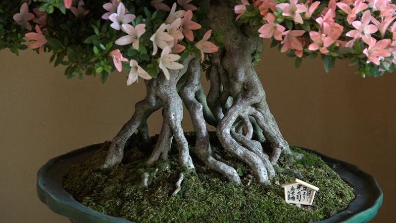 The first Nagahama Satsuki Azalea Bonsai Exhibition|Part 2