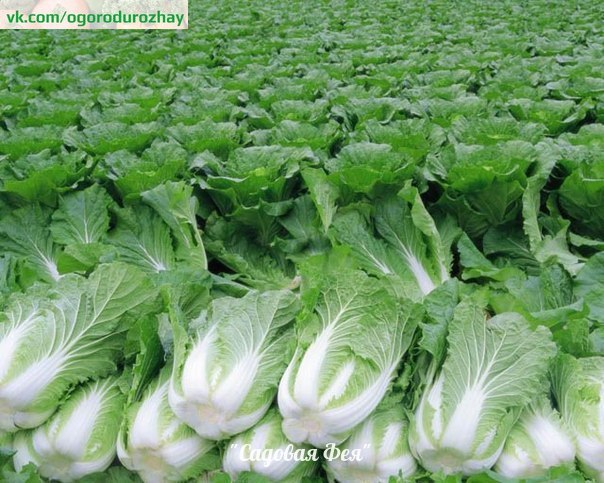 Секреты выращивания пекинской капусты