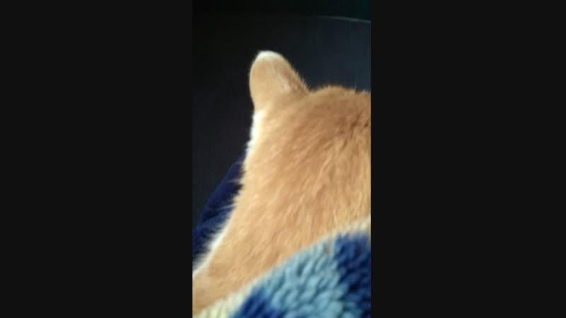 Кот сампер