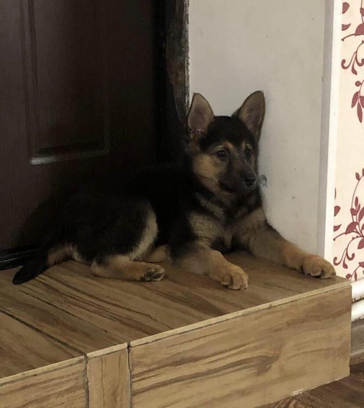 Потерялась собака по кличке Джессика, была без ошейника. Маленькая, 3 месяца, потерялась в Дмитрове, ул Сиреневая 3. Пожалуйста, кто увидит, позвоните пожалуйста по номеру 89299602160