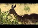 Охота леопарда на антилопу