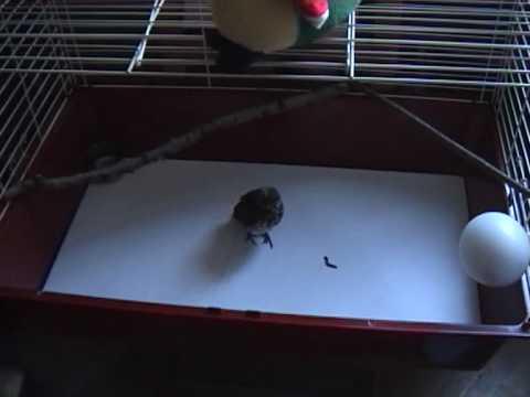 3-недельный птенец дрозда гоняется за червяком.