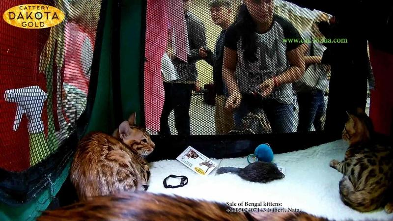 15092018, Выставка кошек, Харьков, Радмир Экспохолл, WCF, 7