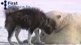 Polar bear and dog playing