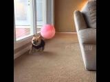 Бульдог убегает от огромного шара - Bulldog running away from a giant ball