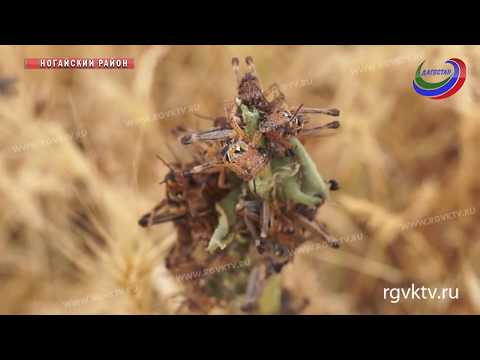 Нашествие саранчи В Ногайском районе веден режим ЧС