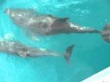 Дельфины в Лазаревской катер Evelin 18.05.2013.