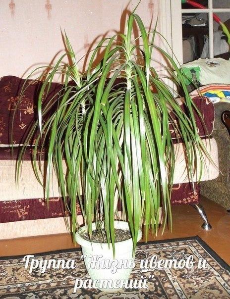 Семейство драценовые (Dracaenaceae) - это... Что такое ...