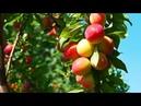 Особенности посадки плодовых деревьев