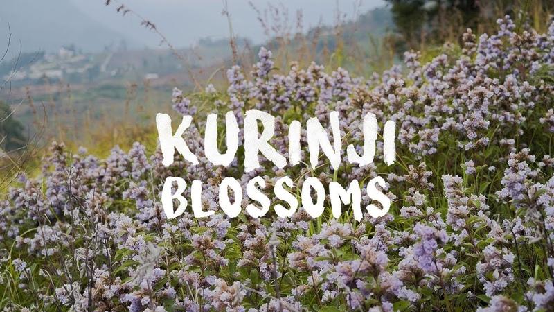 Kurinji Blooms 2018 | Kodaikanal | Tamil Nadu Tourism | Kurinji Blossoms