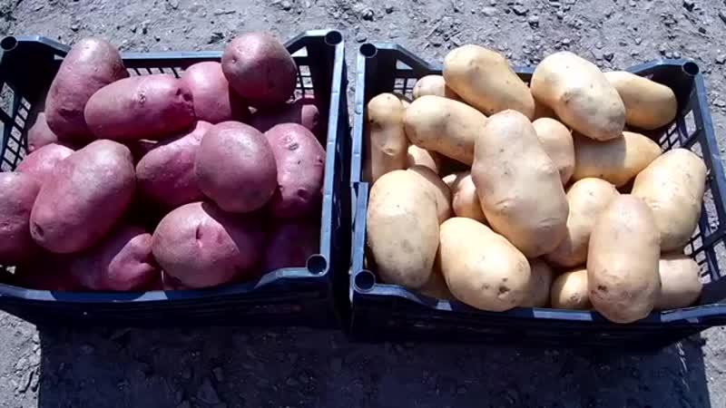 Секреты выращивания крупного картофеля от высадки до сбора урожая Ведро картофел.mp4