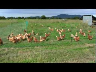 ELECTRIC Chicken Fence. poultry netting, Electric Mesh Chicken Caravan