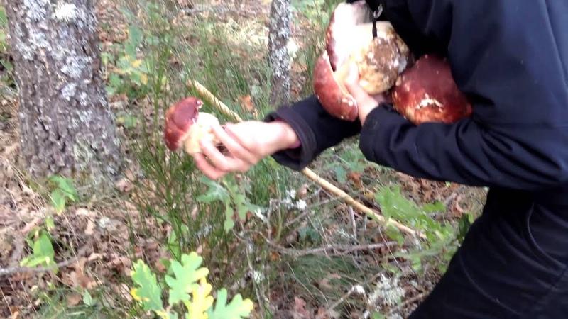 Boletus Pinicola Edulis [ quercus pyrenaica] en ROBLE
