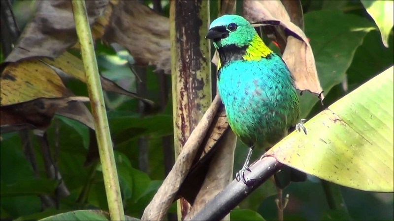 Green-headed tanager / Зеленоголовая танагра / Tangara seledon