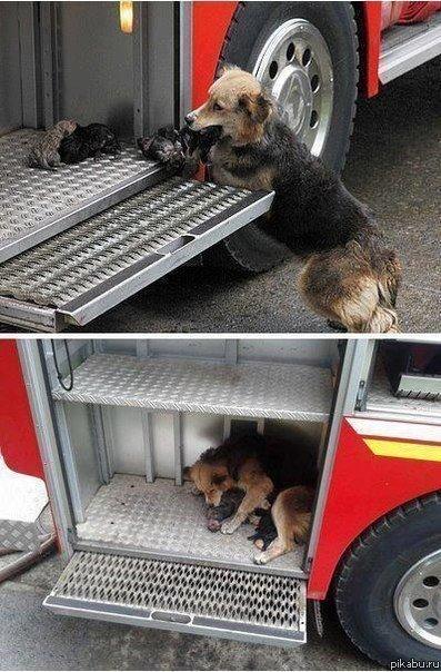 Собака спасает своих детей от пожара,пряча их в пожарную машину.