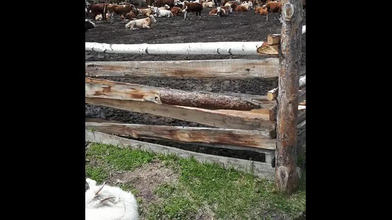 продаем корова баран Козлов желающие есть напишите находишься Иркутская область в городе Шелехово