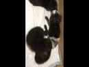 Малышам - котикам всего 22 дня, но они обещают вырасти в огромных котяр Мейн-кунов