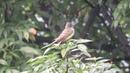 Great crested flycatcher Хохлатый желтобрюхий тиранн Myiarchus crinitus