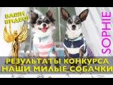 РЕЗУЛЬТАТЫ КОНКУРСА Наши Милые Собачки (чихуахуа Софи: конкурс наши милые собачки чихуахуа и другие)
