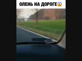 ОЛЕНЬ_НА_ДОРОГЕ