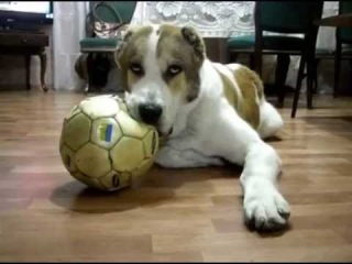 Alabai 8 months old,playing with the ball