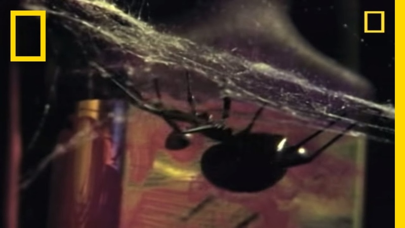 Deadliest Mates: Black Widow Spider | National Geographic