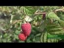 В Брянской области сезон сбора ремонтантной малины 13 09 18