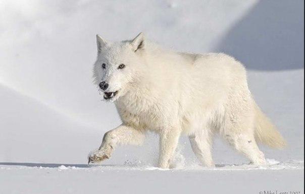 Фото волков на аватарку!!! | VK: vk.com/volki_volci