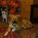 Ребят,неделю назад на улице был найден пес,порода питостаф,кобель…
