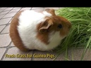 Fresh Grass for Guinea Pigs guinea pigs squeaking