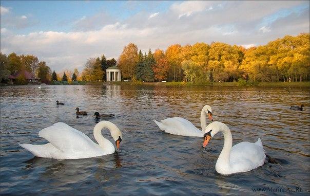Лебеди в Петербурге