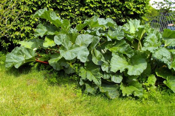 Ревень - ваш выход в сад! И съедобный и декоративный. Скоро, очень скоро наступят теплые дни, и увлеченные садоводы смогут заняться любимым занятием обустройством своего сада! Наверное, каждый