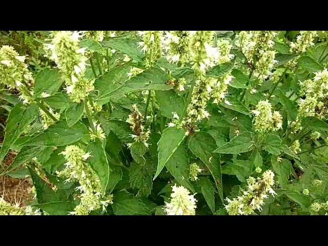 Лофант тибетский цветет