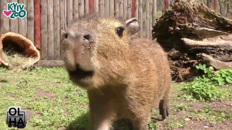В Киевском зоопарке появился новый житель - малыш капибары по кличке Торнадо