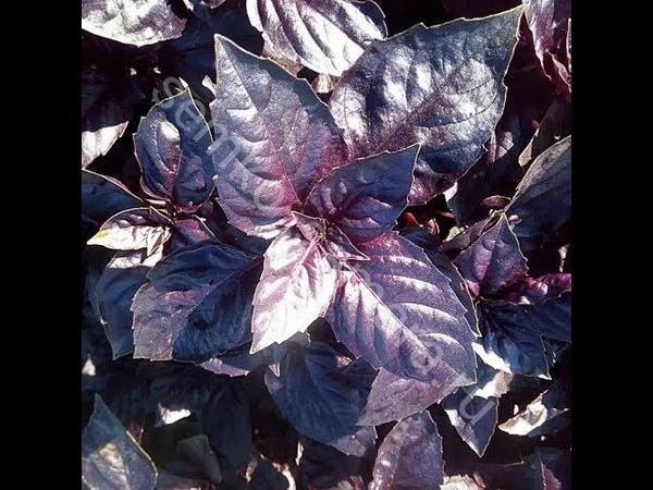 Базилик фиолетовый размножение и посадка черенками