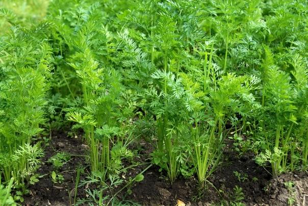Польза и применение морковной ботвы. Морковная ботва используется уже в течение 4 000 лет. В этой зелени содержится множество элементов, необходимых для нормального функционирования