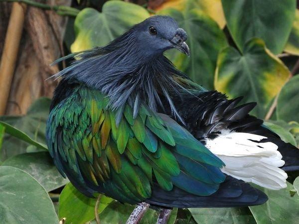 Гривастый голубь.