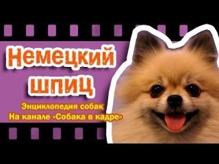 Немецкий шпиц (Европейские шпицы). Энциклопедия пород собак.
