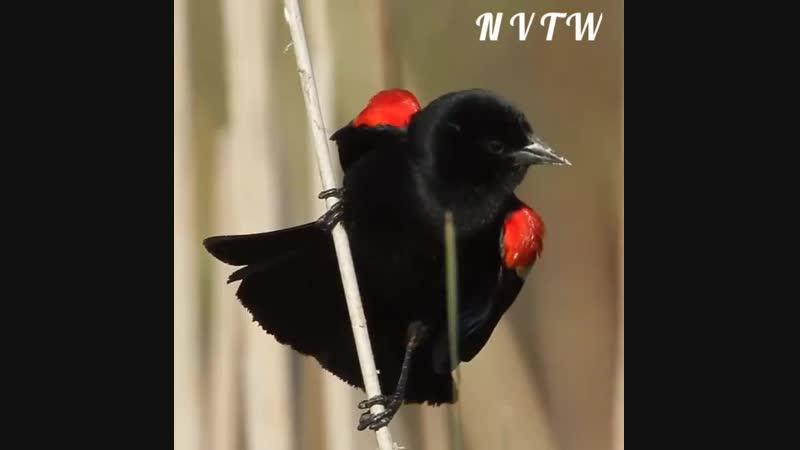 Свадебные ритуальные танцы у птиц