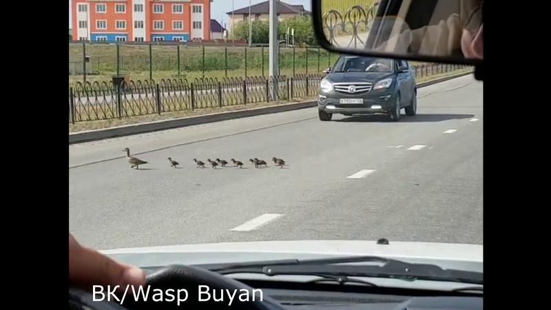 Вежливые люди В Салехарде автомобилистам приходится на дорогах пропускать выводки утят