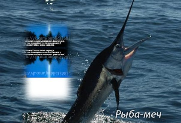 Знаете ли вы, что рыба-меч имеет вес до 660 килограммов, длина ее тела без