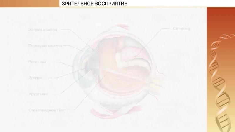 Зрительное восприятие. Видео из учебного пособия по биологии ШКОЛАВКАРМАНЕ