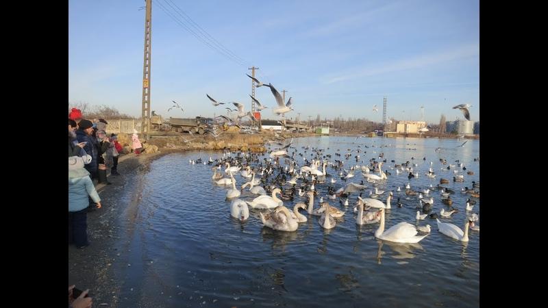 Зимовка лебедей. Черноморск. Одесса.