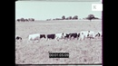 Cows Grazing 1960s Rural Farming HD from 16mm