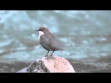White-throated Dipper / Оляпка / Cinclus cinclus
